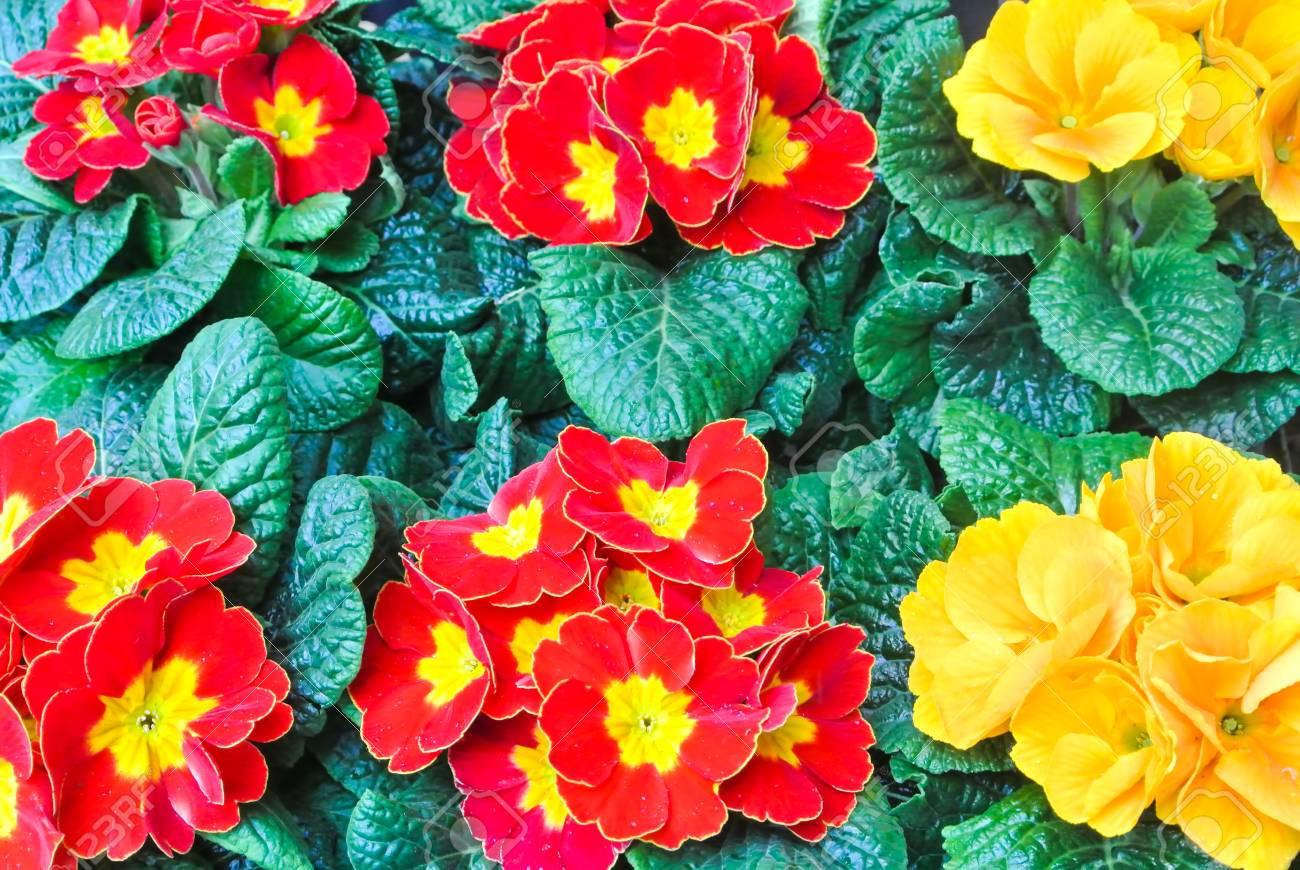 Rows of beautiful colorful flowering red and yellow primrose stock rows of beautiful colorful flowering red and yellow primrose flowers with green leaves in the street mightylinksfo