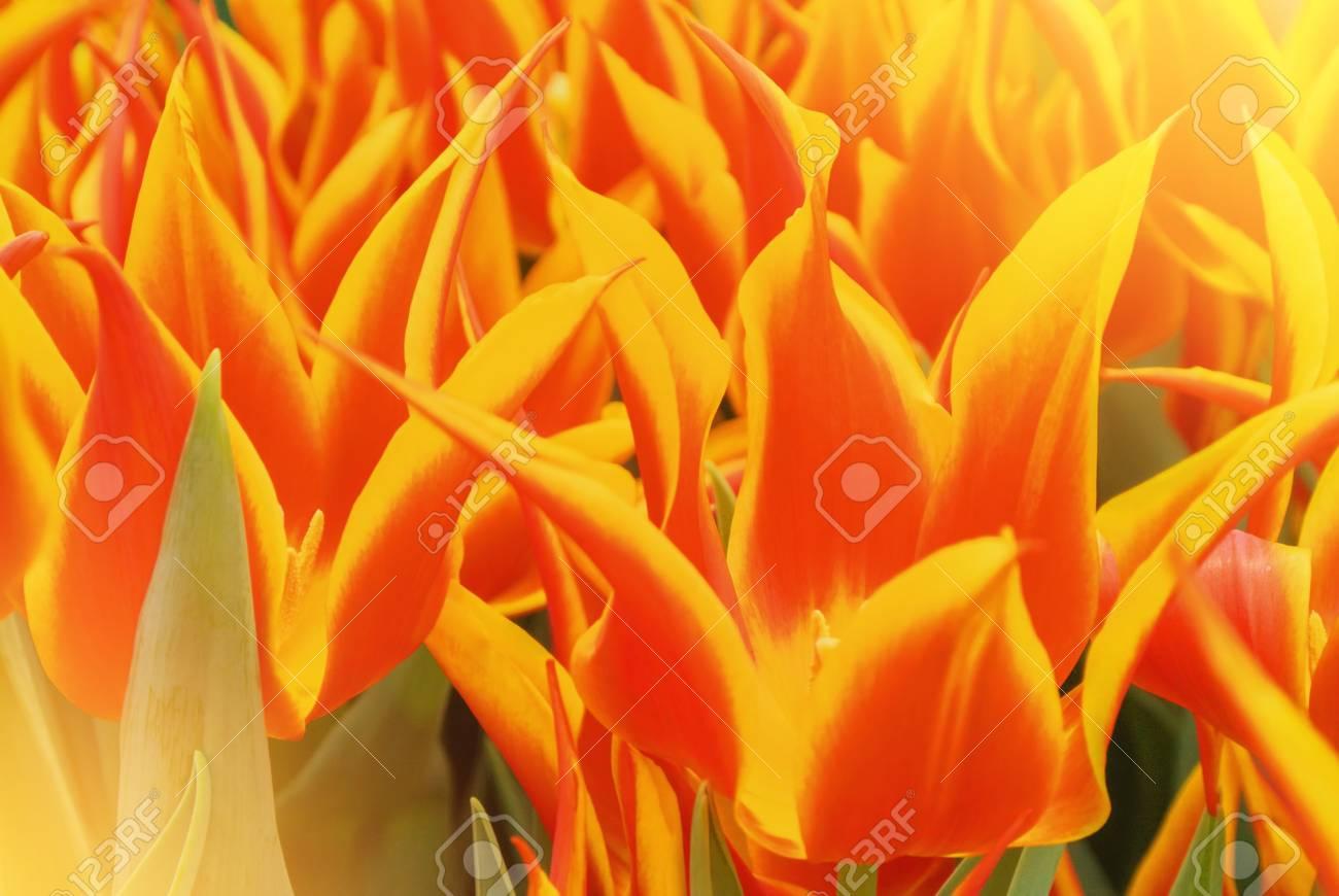 Close Up Macro Beautiful Red Orange Yellow Lush Vibrant Tulip