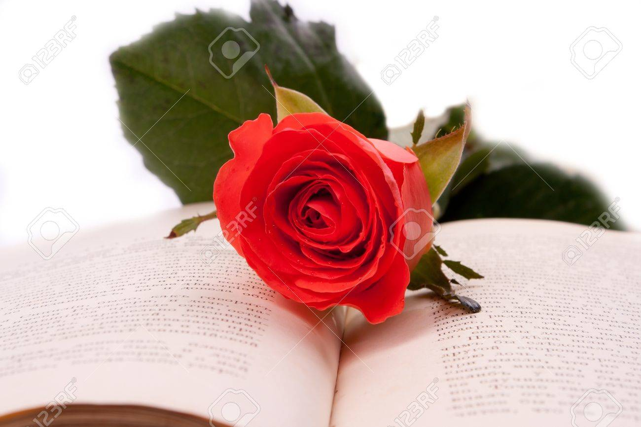 Scarlet Rose is an open book Stock Photo - 9744373