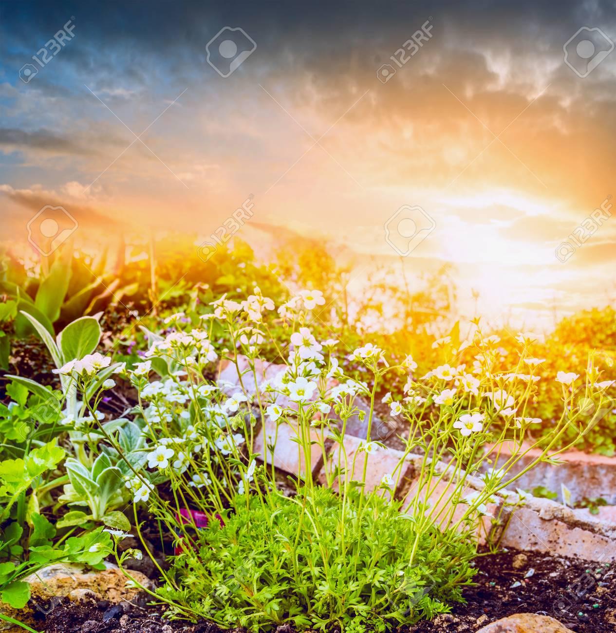 Weiße Blumen Im Steingarten über Sonnenuntergang Himmel Natur ...