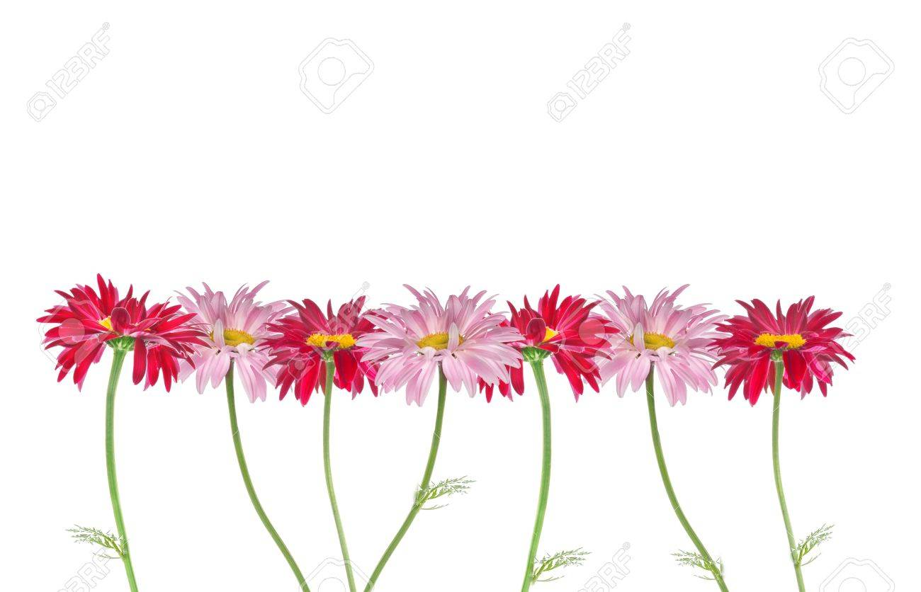 Colorful daisies floral border isolated on white stock photo colorful daisies floral border isolated on white stock photo 37490601 izmirmasajfo