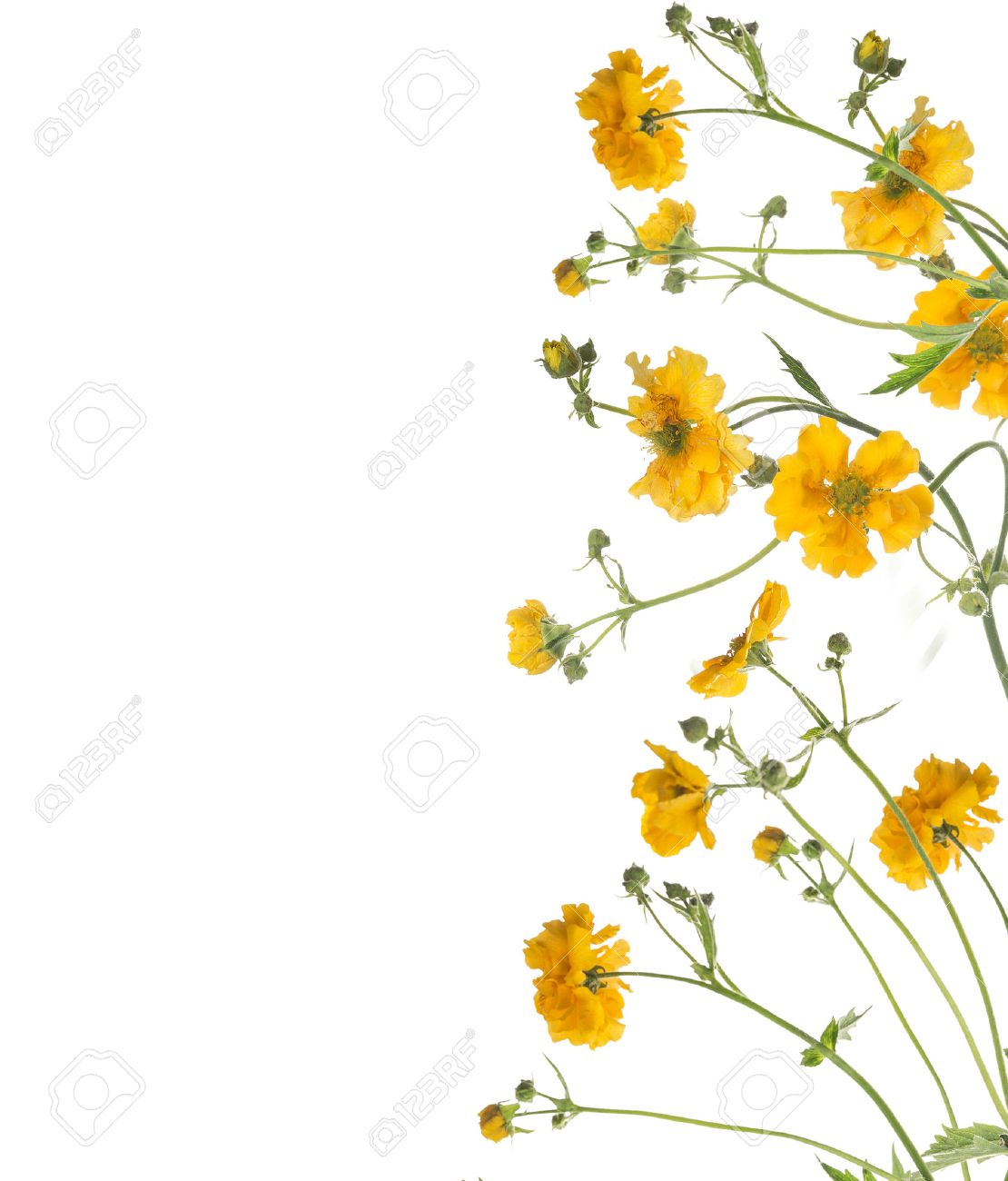 Floral border of yellow flowers isolated on white background stock floral border of yellow flowers isolated on white background stock photo 37518816 mightylinksfo