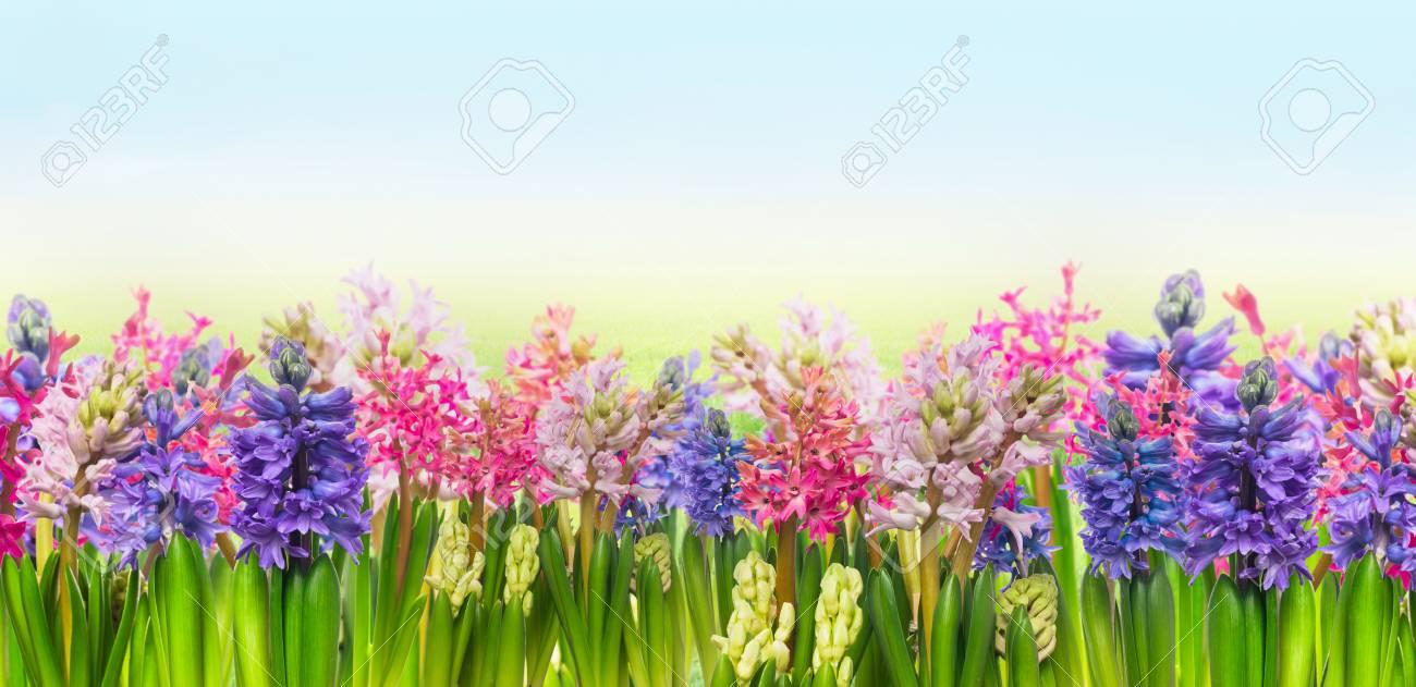 Hyacinths Blooming Spring Flowers Against Blue Sky Border Banner