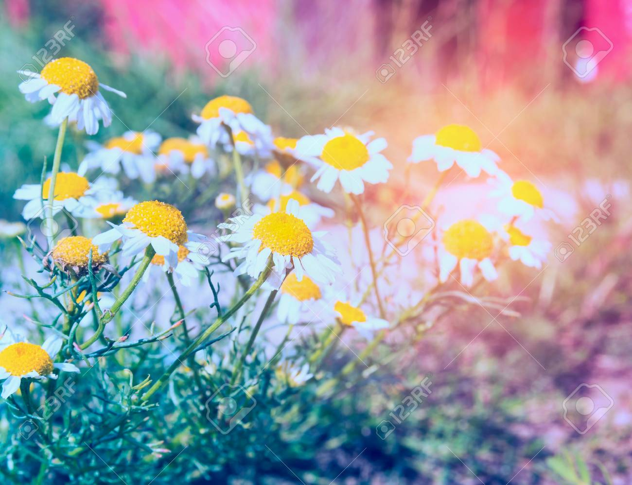 Wild Summer Garden With Daisies Flowers In Sun Shine Toned Stock