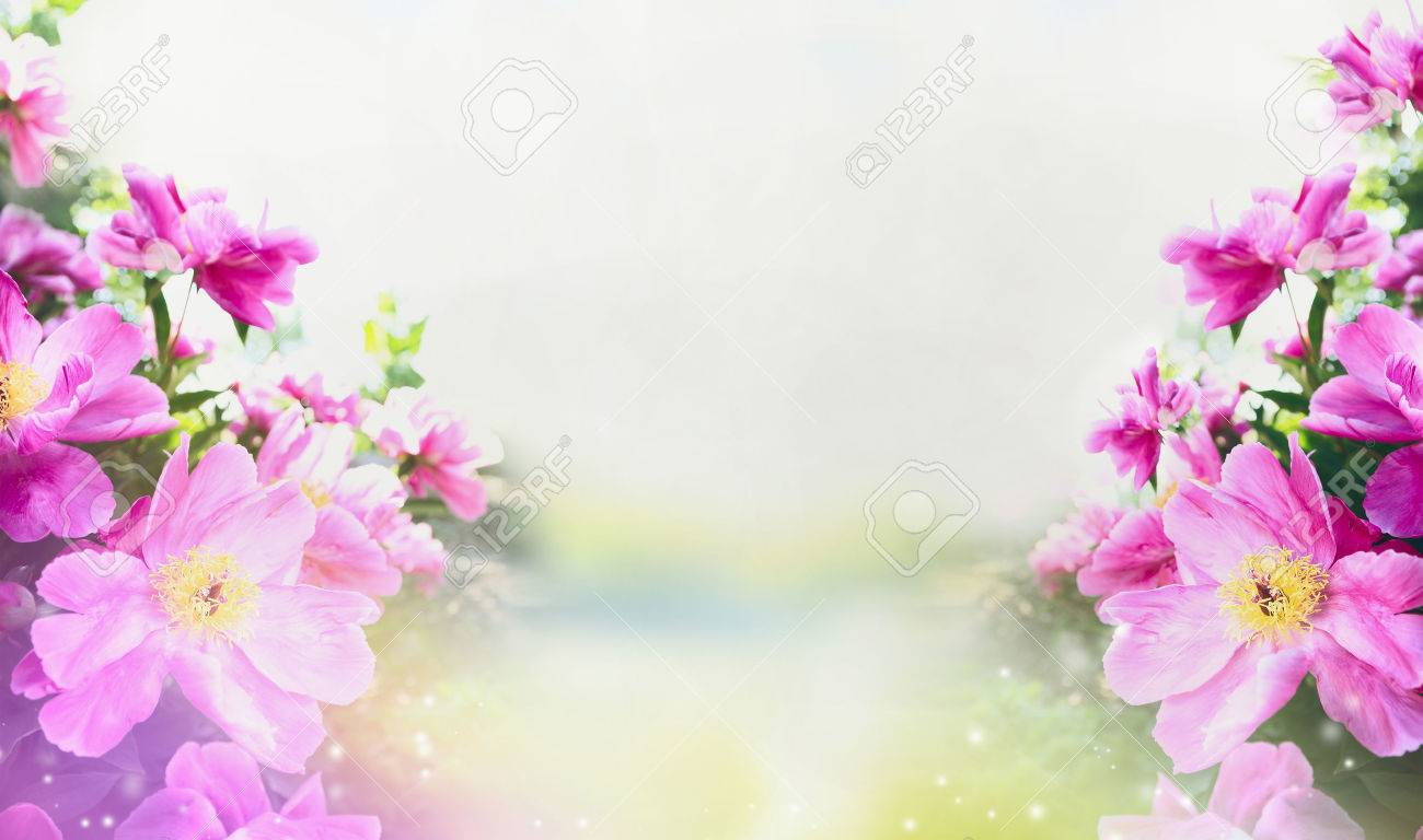 Flowers Garden Background With Close Up Of Pink Peonies Banner