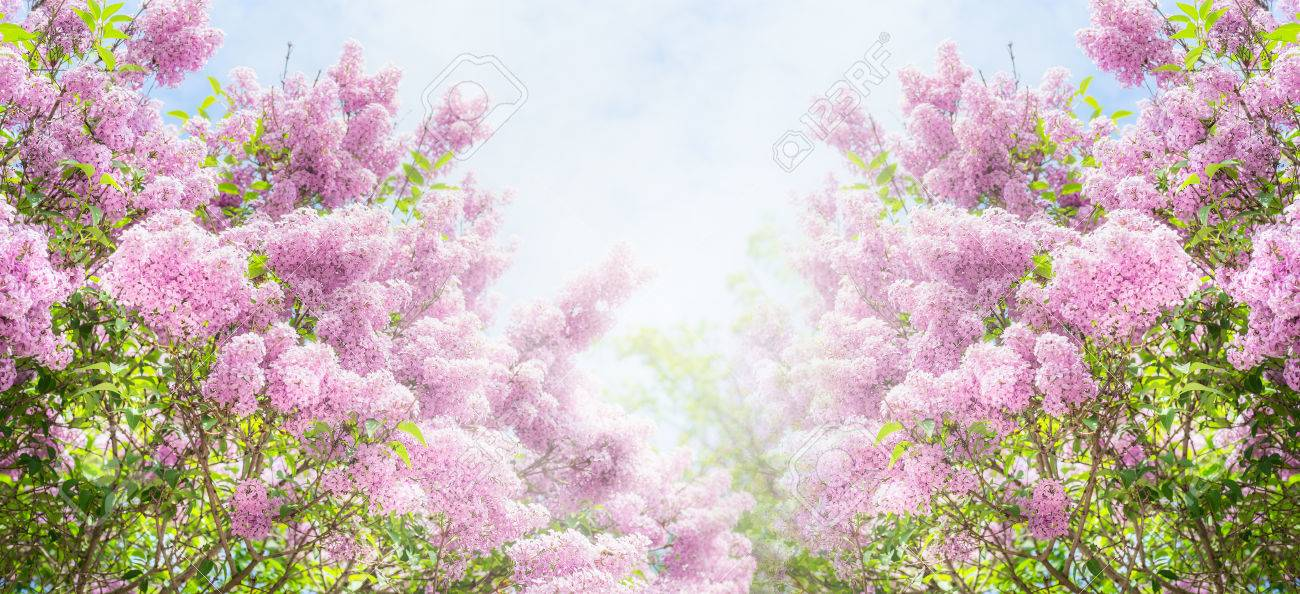 df92afe8c310 Lilac bush over sky background. Lilac flowers in garden or park. Nature  background