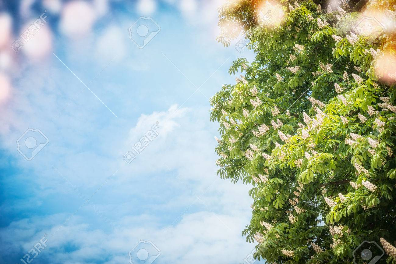 Big Chestnut Tree Blossom At Sky Background With Sunshine And
