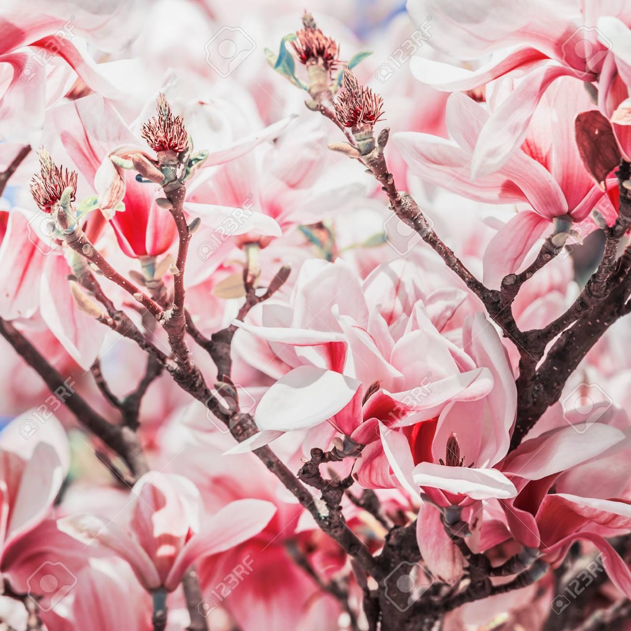 Red Magnolia Blossom On Magnolia Tree Springtime Nature Stock Photo