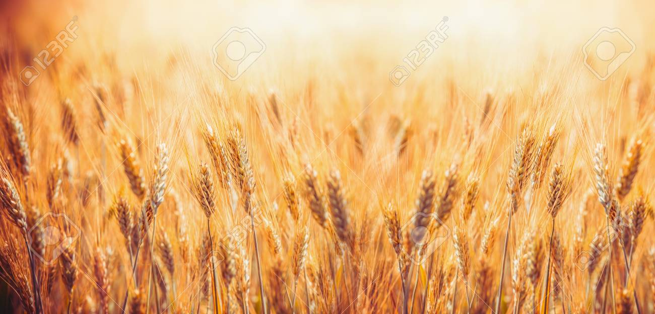 Golden Cereal field with ears of wheat , Agriculture farm and