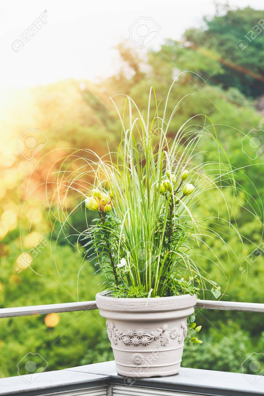 Beautiful Patio Flowers Pot With Pampas Grass And Green Lily On Balcony Or  Terrace In Sunset