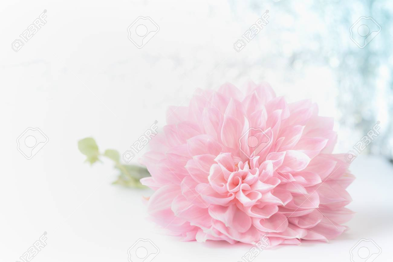 Big Beautiful Pink Pale Flower On Bokeh Background Front View