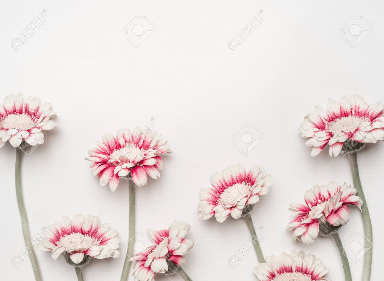 Lovely Daisies Flowers On White Desktop Background Floral Border