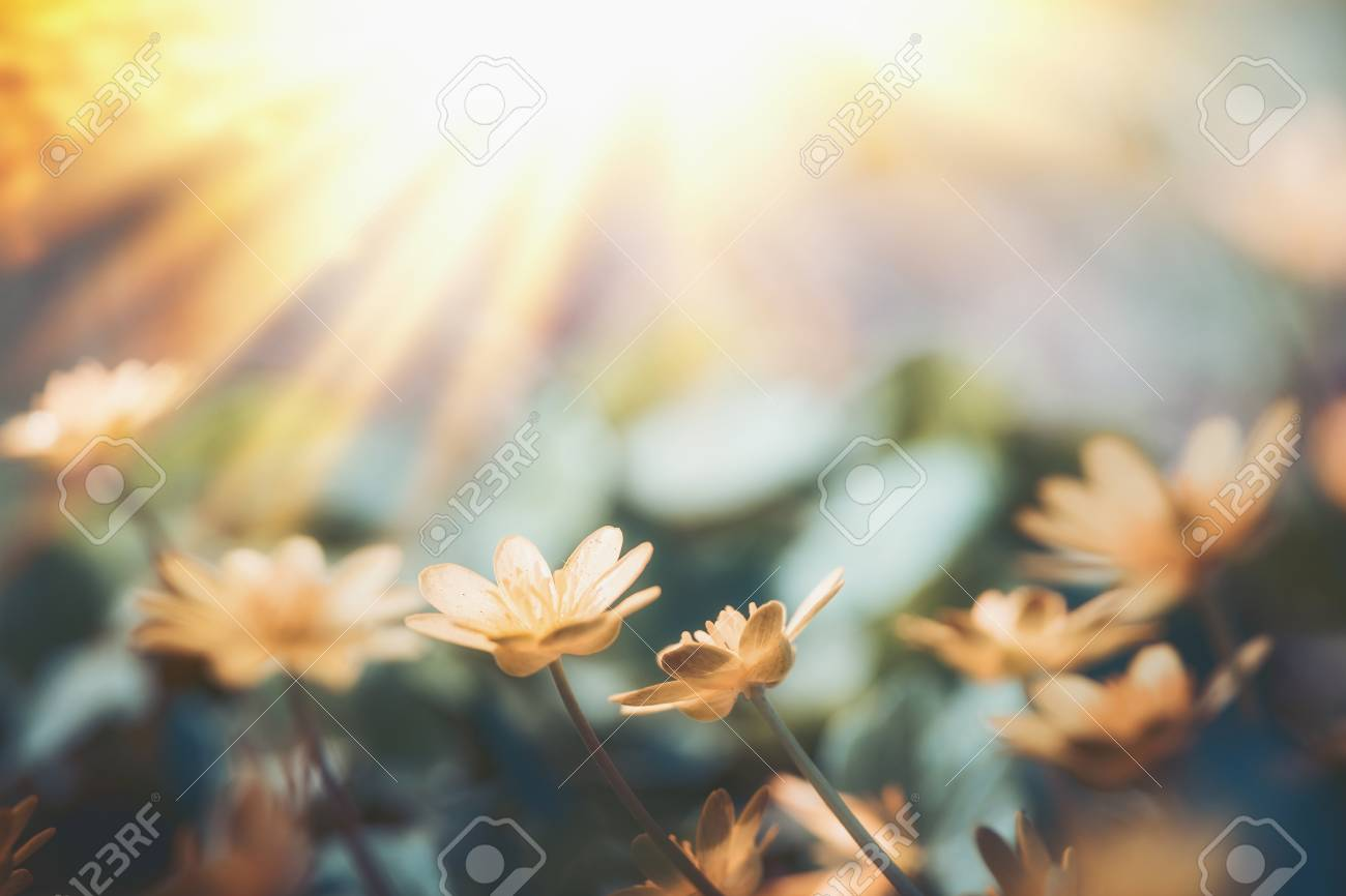 Yellow little flowers at sunset light, wild outdoor nature background - 99227343