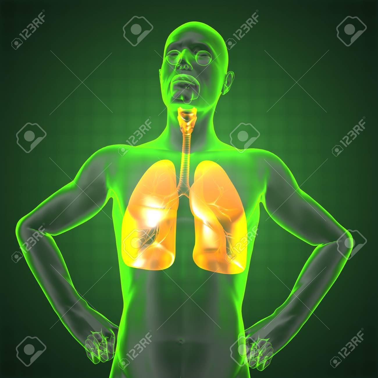 Menschliche Röntgen-Thorax In 3D Gemacht Lizenzfreie Fotos, Bilder ...