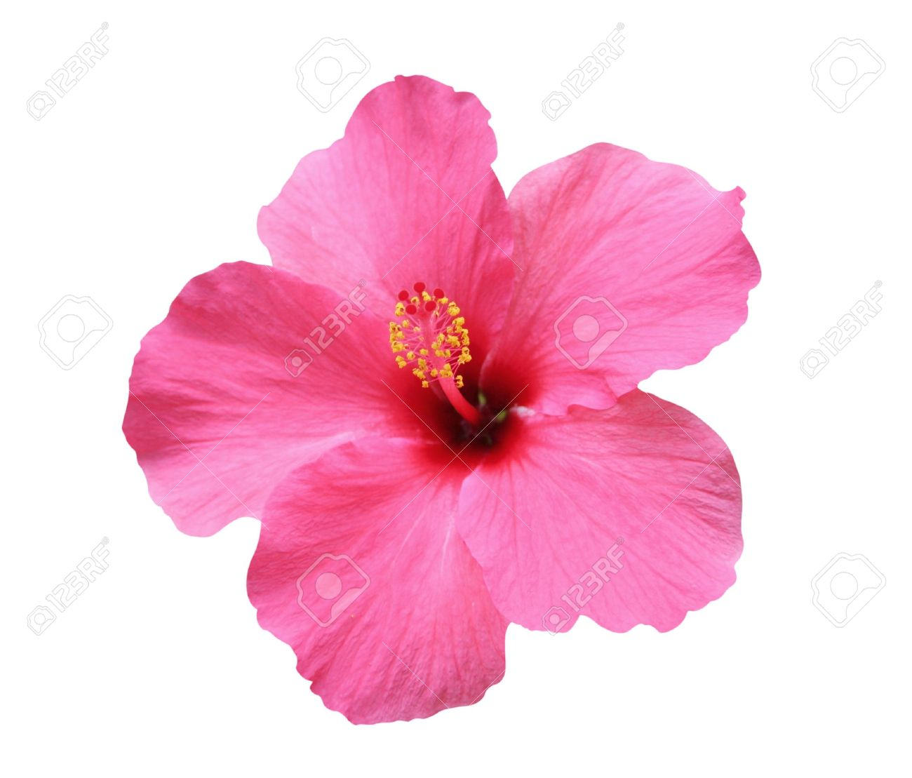 hawaiian flower images  stock pictures. royalty free hawaiian, Natural flower