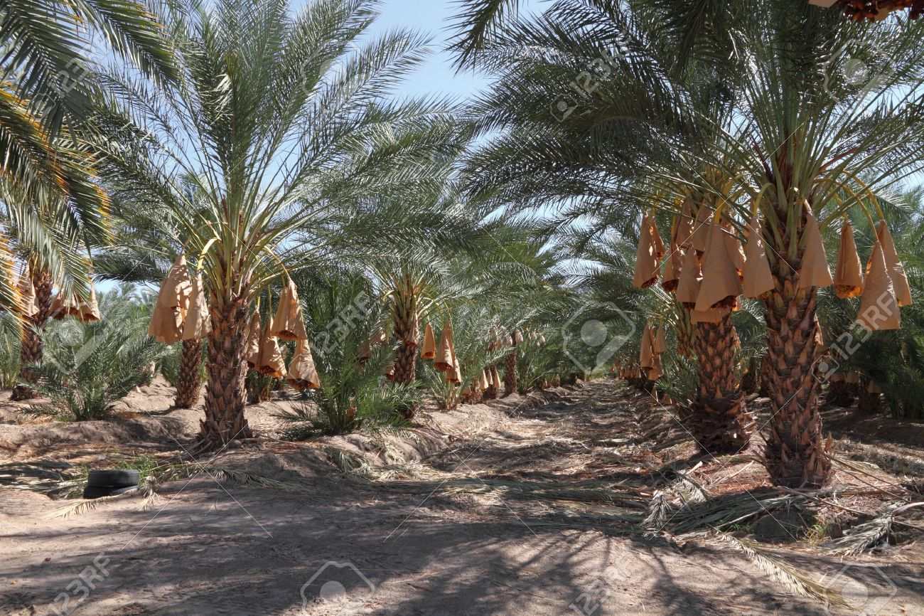 Date Palm Tree Orchard Stock Photo Picture And Royalty Free Image