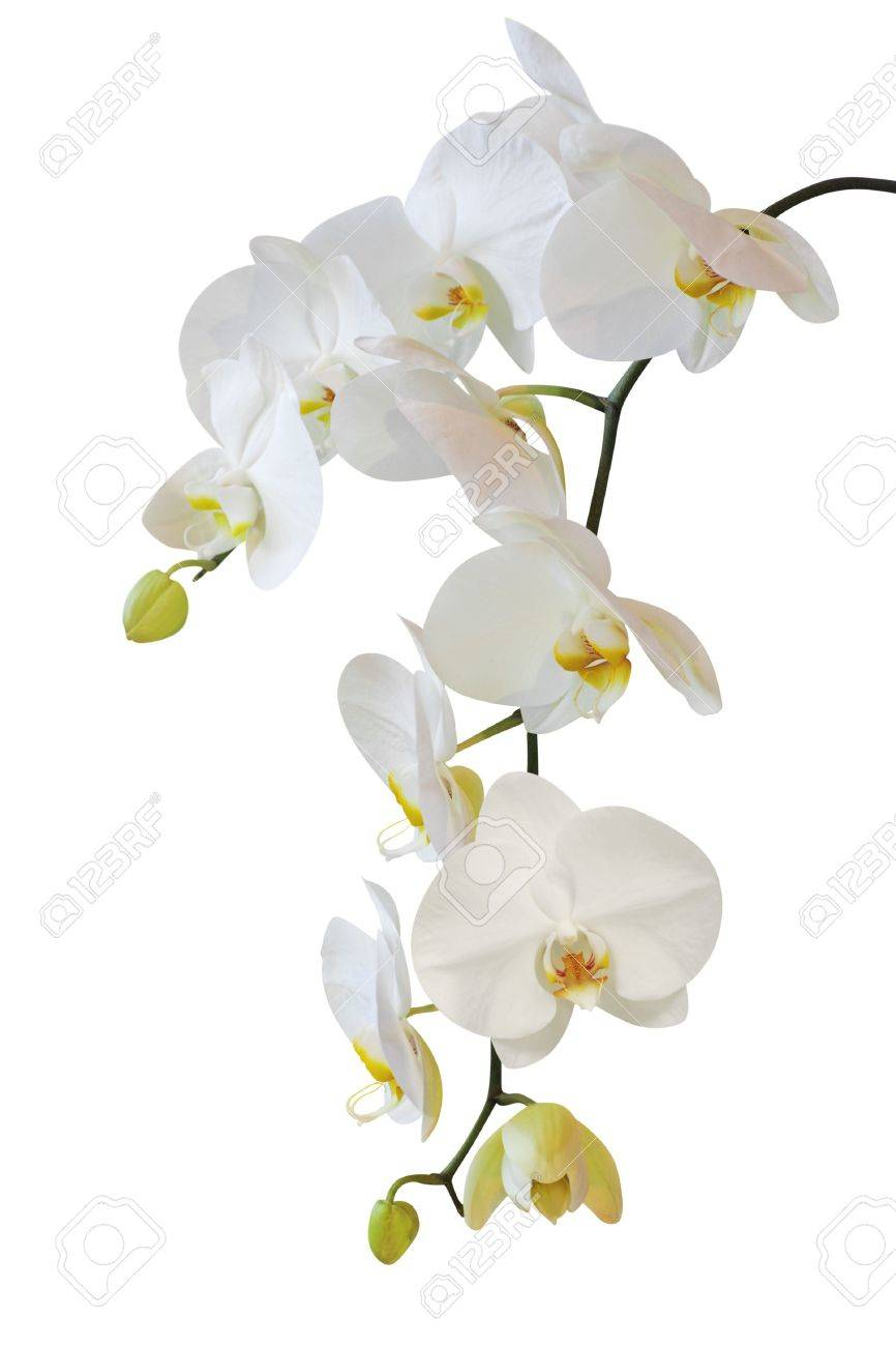 white orchid Stock Photo - 12810784