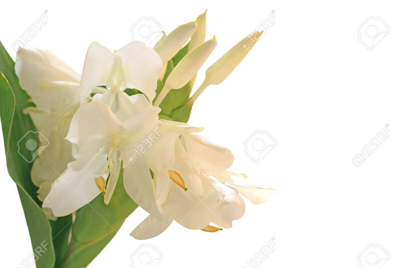 White Ginger Lily Flower Also Called Hedychium Butterfly Ginger