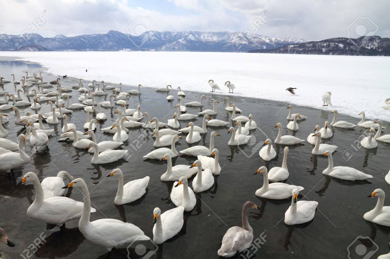 Swan lake  Lake Kussharo  in Hokkaido, Japan Stock Photo - 16281802