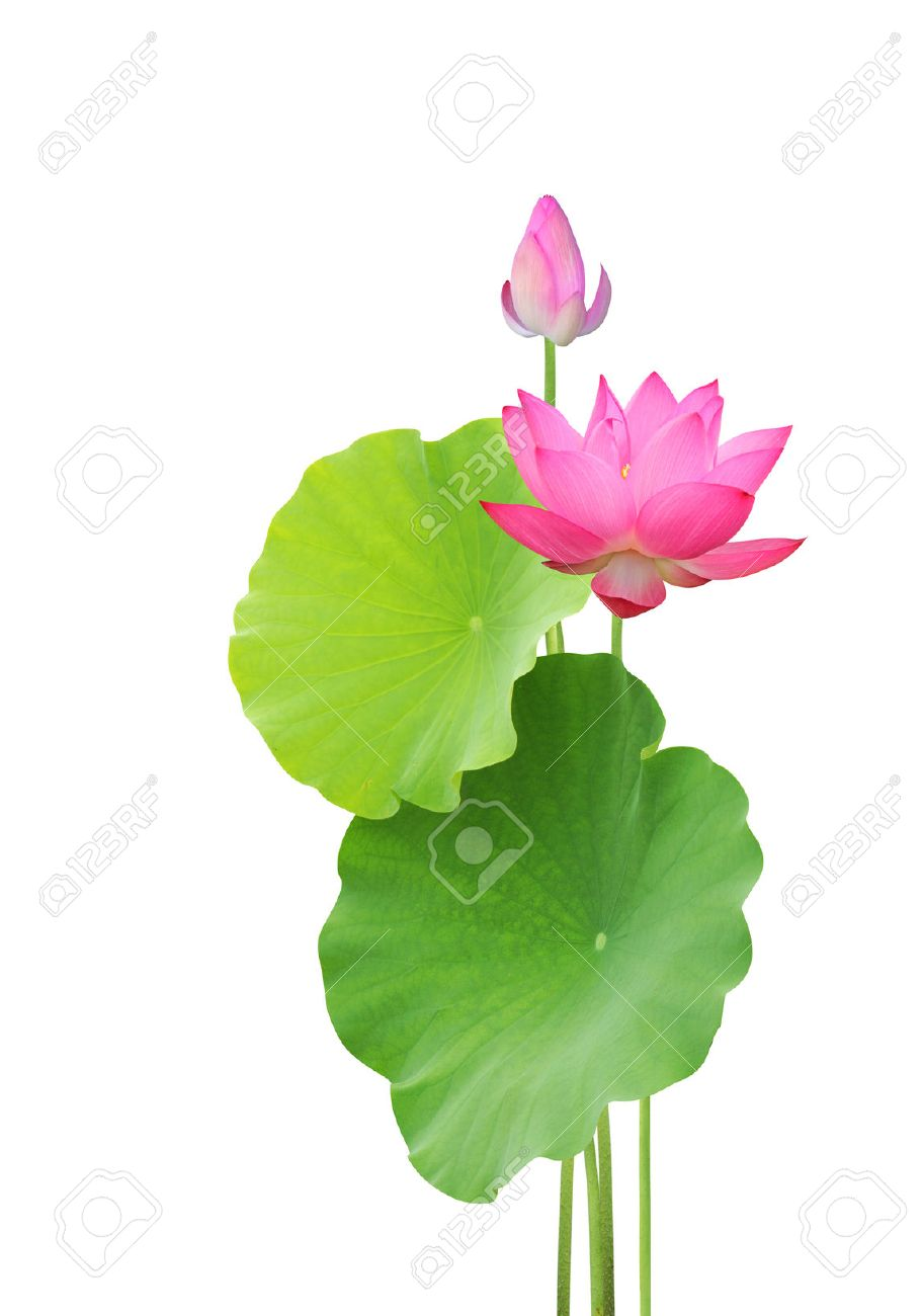 Lotus Flower And Leaves Isolated On White Background Stock Photo