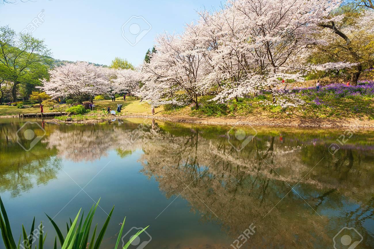 Sakura, Turtle Head Islet, Wuxi, Jiangsu, Taihu Province - 81058948