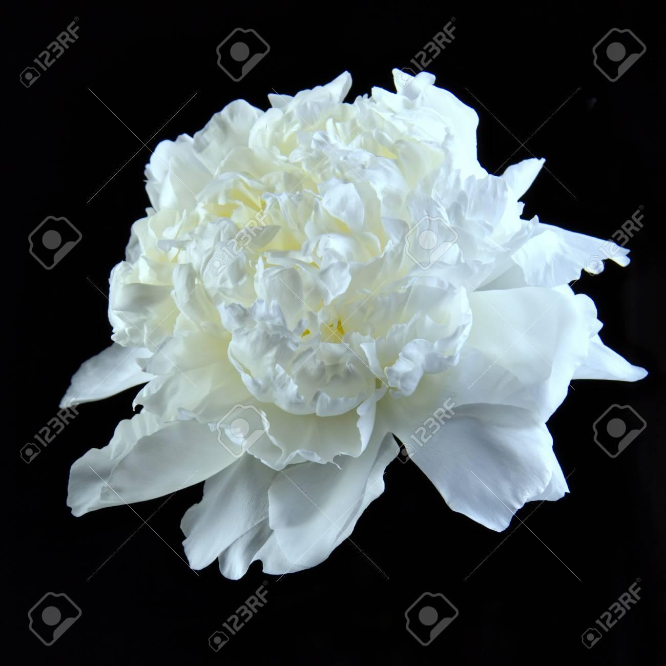 La Fleur D Aster Blanche Brille Et Brille A L Interieur Fond Noir