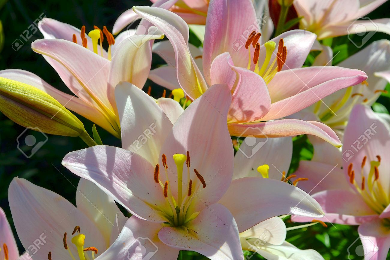 Pink lily bulbous plant with a straight stem and large beautiful bulbous plant with a straight stem and large beautiful flowers bellshaped has a mightylinksfo
