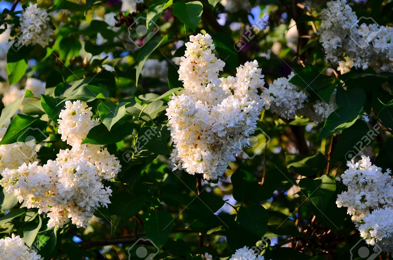 White lilac large garden shrub with purple or white fragrant stock photo white lilac large garden shrub with purple or white fragrant flowers lilac attracts bees to collect nectar mightylinksfo