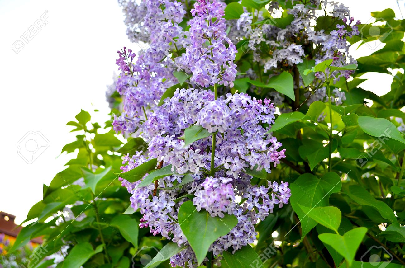 Lilac Large Garden Shrub With Purple Lilac Or White Fragrant