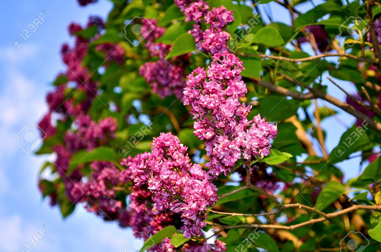 Lilac large garden shrub with purple lilac or white fragrant large garden shrub with purple lilac or white fragrant flowers lilac attracts dhlflorist Choice Image