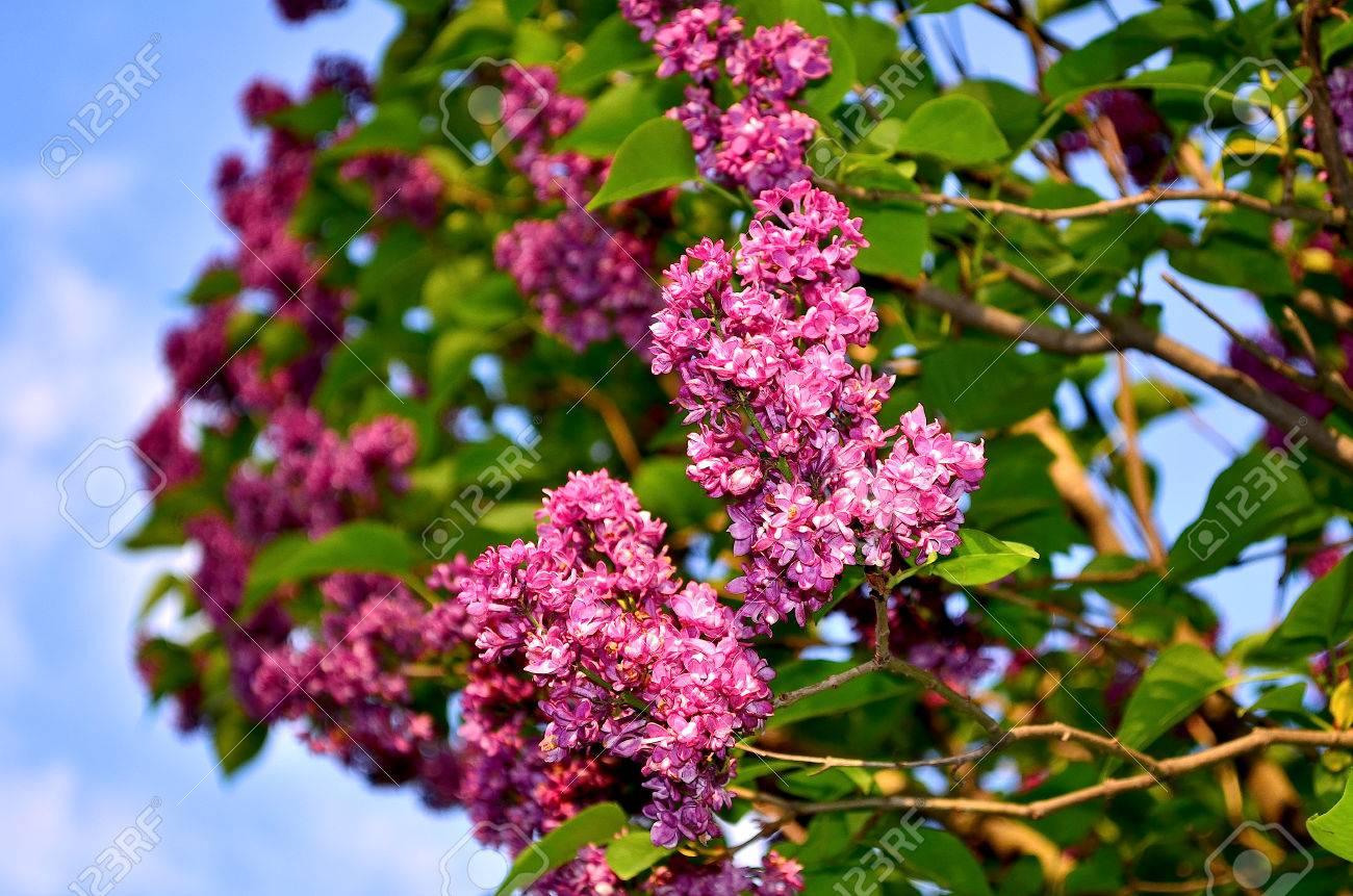 Lilas. Grand Arbuste De Jardin Avec Violet, Lilas Ou Blanches ...