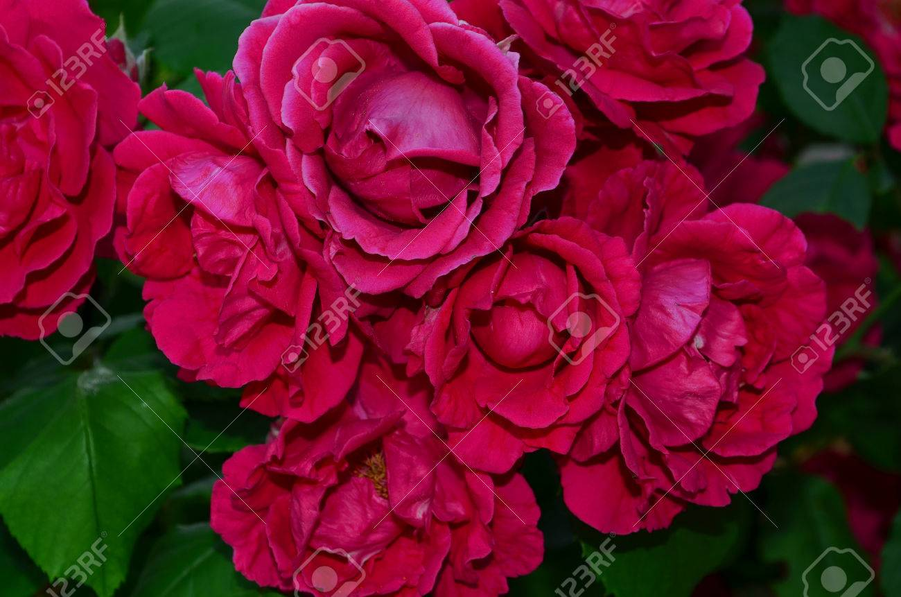 Red rose climbing roses look very elegant and beautiful especially red rose climbing roses look very elegant and beautiful especially when highly twisted the izmirmasajfo