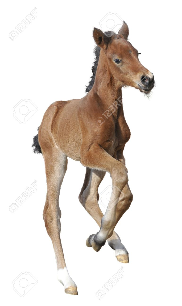 Newborn Foal Isolated On White Horse Baby Stock Photo Picture And Royalty Free Image Image 4946933
