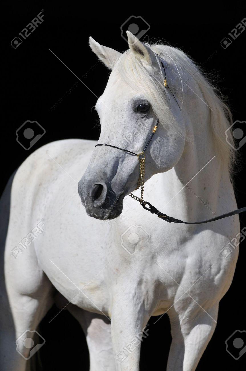 White Arabian Horse Stallion Portrait Isolated On Black Stock Photo Picture And Royalty Free Image Image 4946931