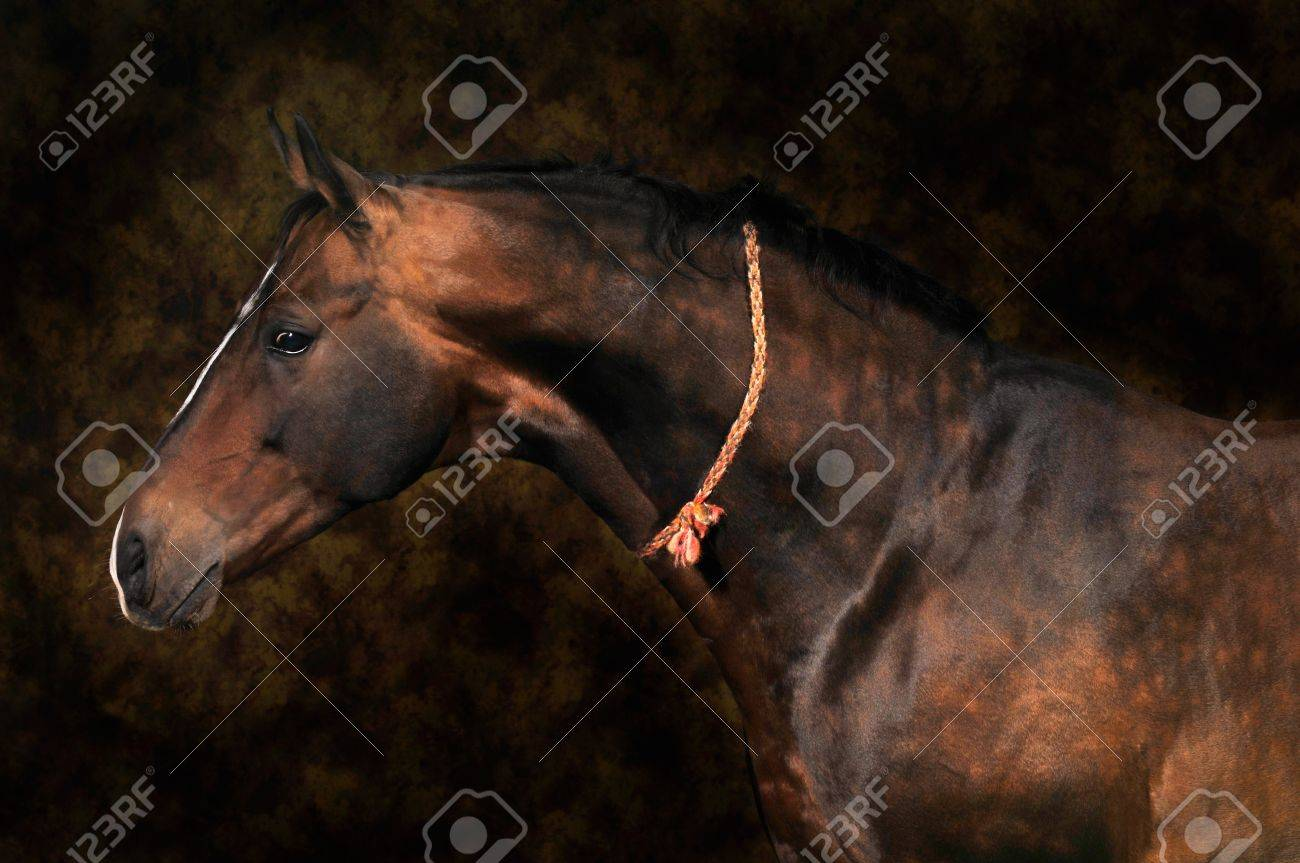 bay horse stallion portrait on the color background Stock Photo - 6938737