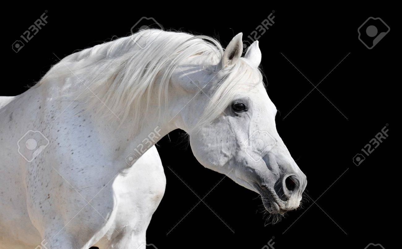 White Arabian Horse Stallion Portrait Isolated On Black Stock Photo Picture And Royalty Free Image Image 7113044