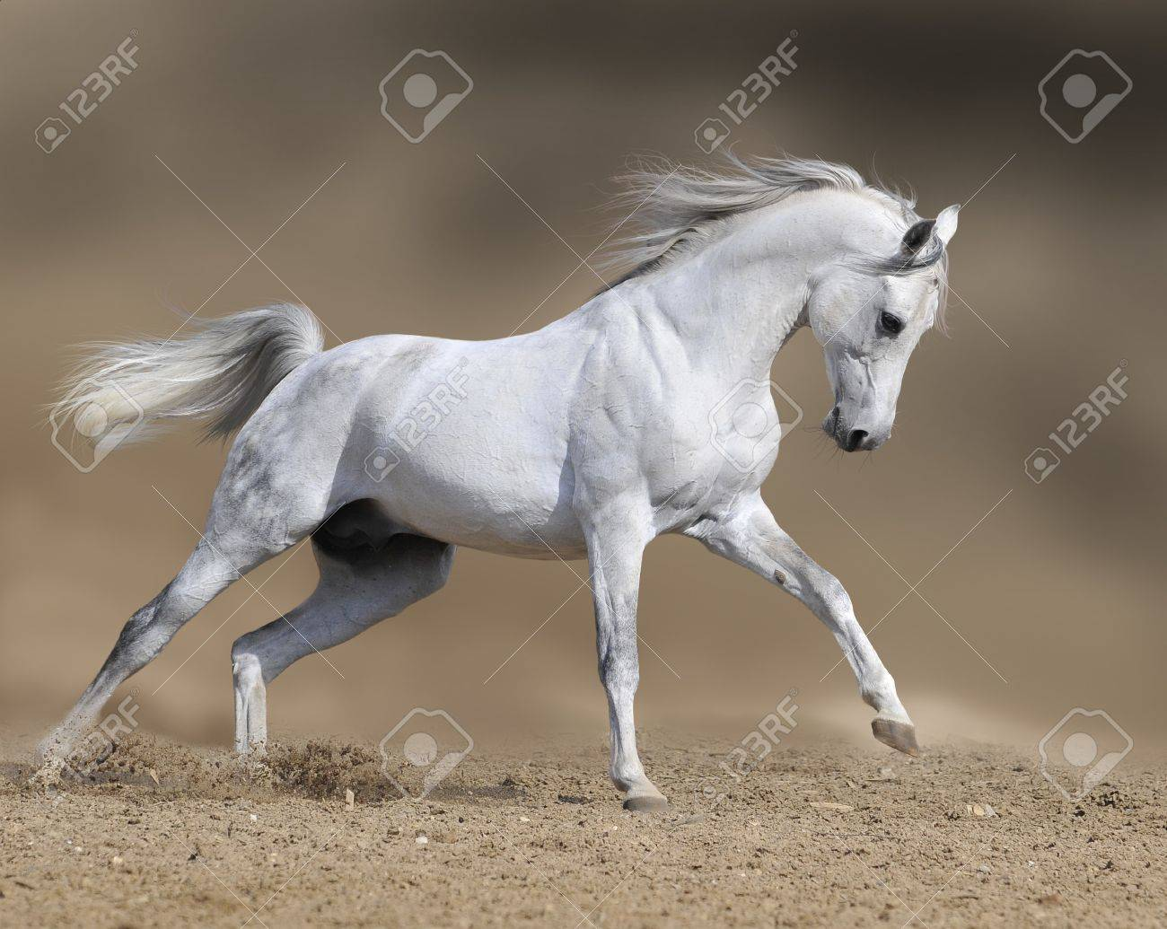 White Horse Run Gallop Stock Photo Picture And Royalty Free Image