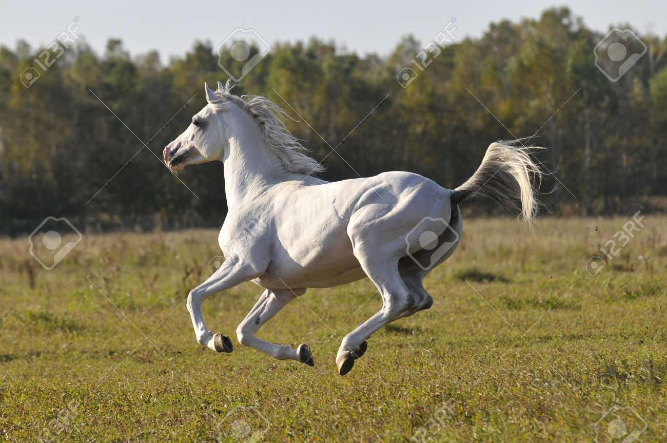 White Arabian Horse Running Gallop On The Meadow Stock Photo Picture And Royalty Free Image Image 7113089