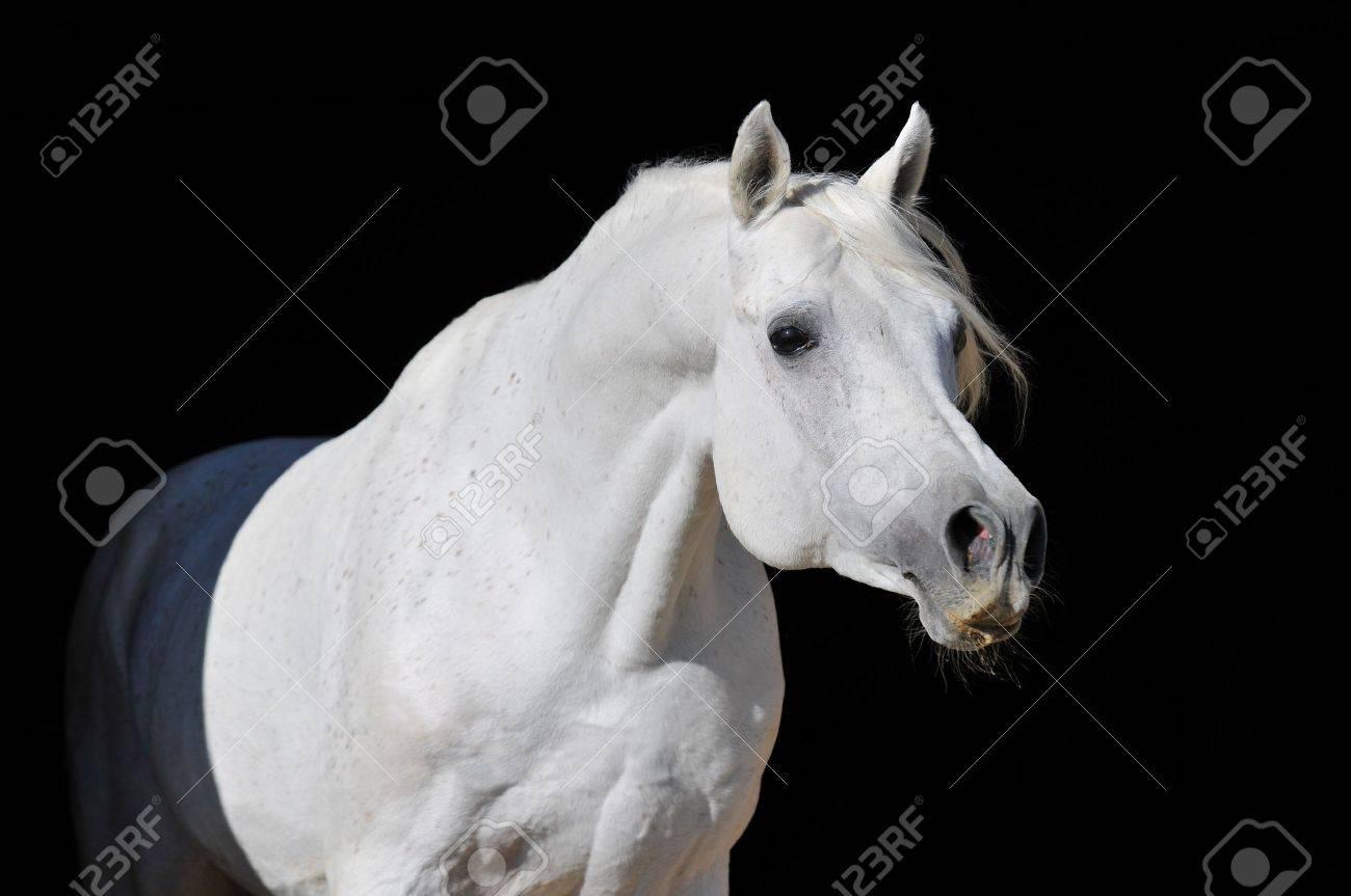 White Arabian Horse Stallion Portrait Isolated On Black Stock Photo Picture And Royalty Free Image Image 7113039