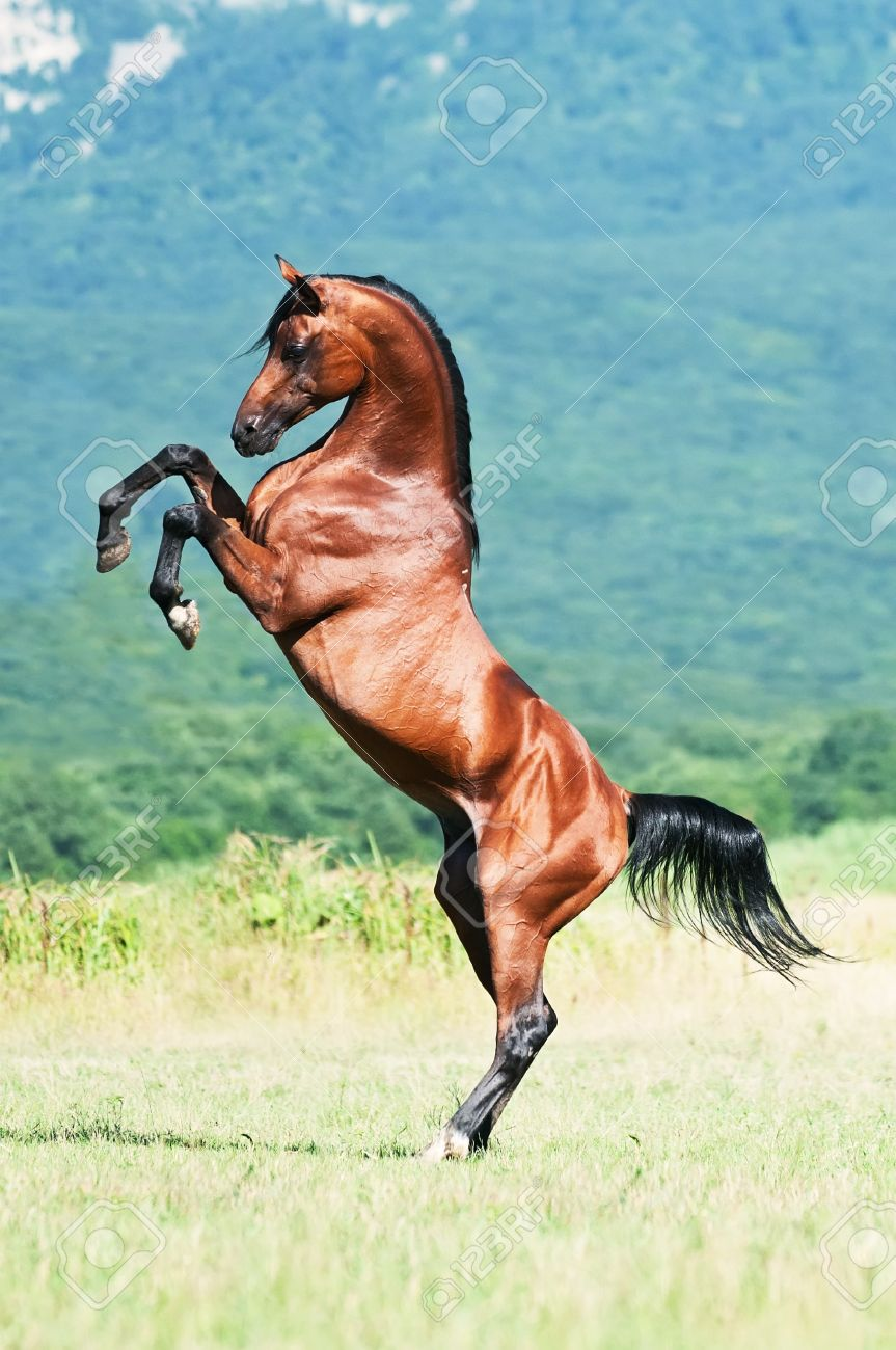 Bay Arabian Stallion Rearing Stock Photo Picture And Royalty Free Image Image 7486978