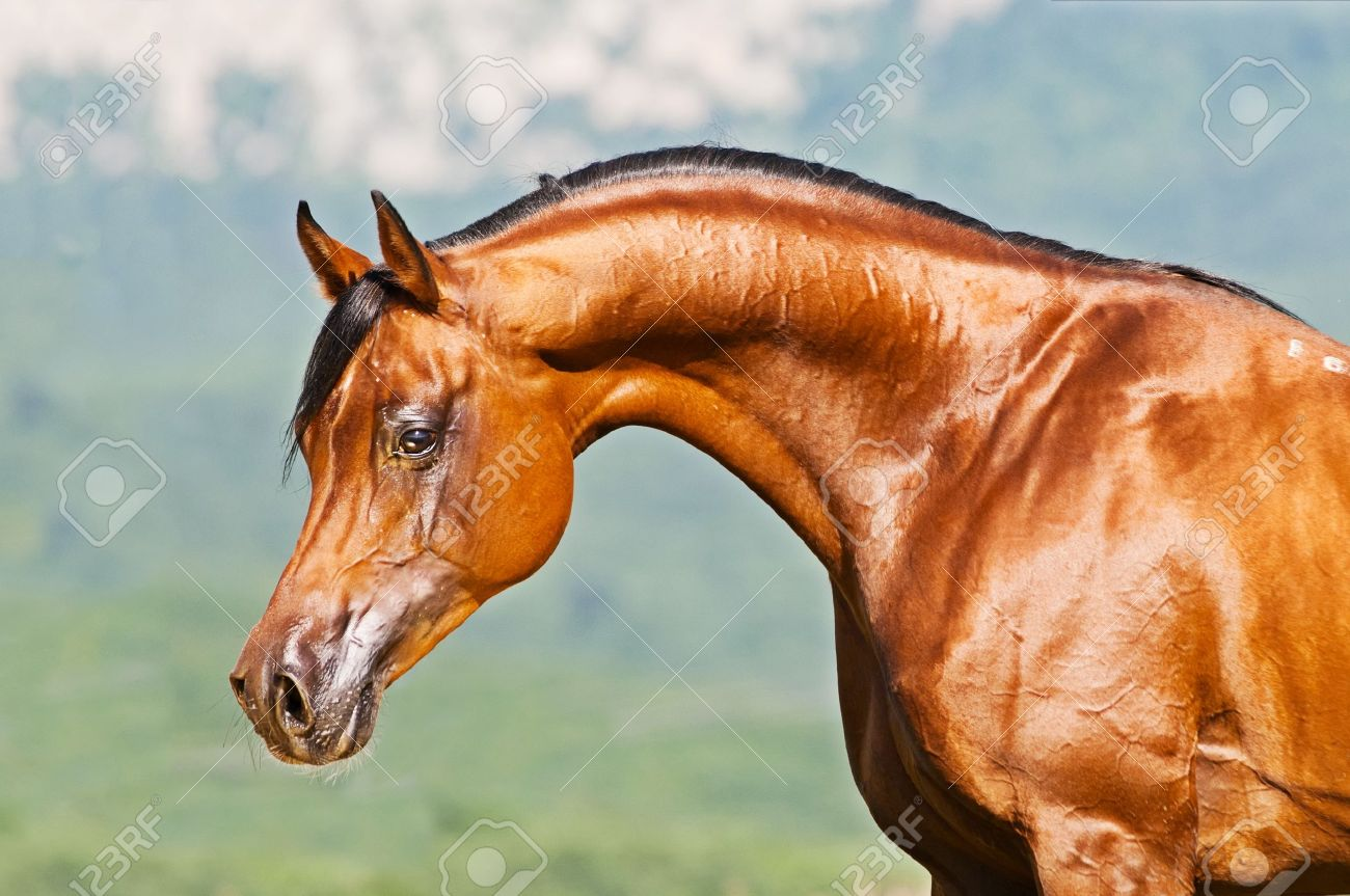 Bay Arabian Stallion Portrait Stock Photo Picture And Royalty Free Image Image 7486980