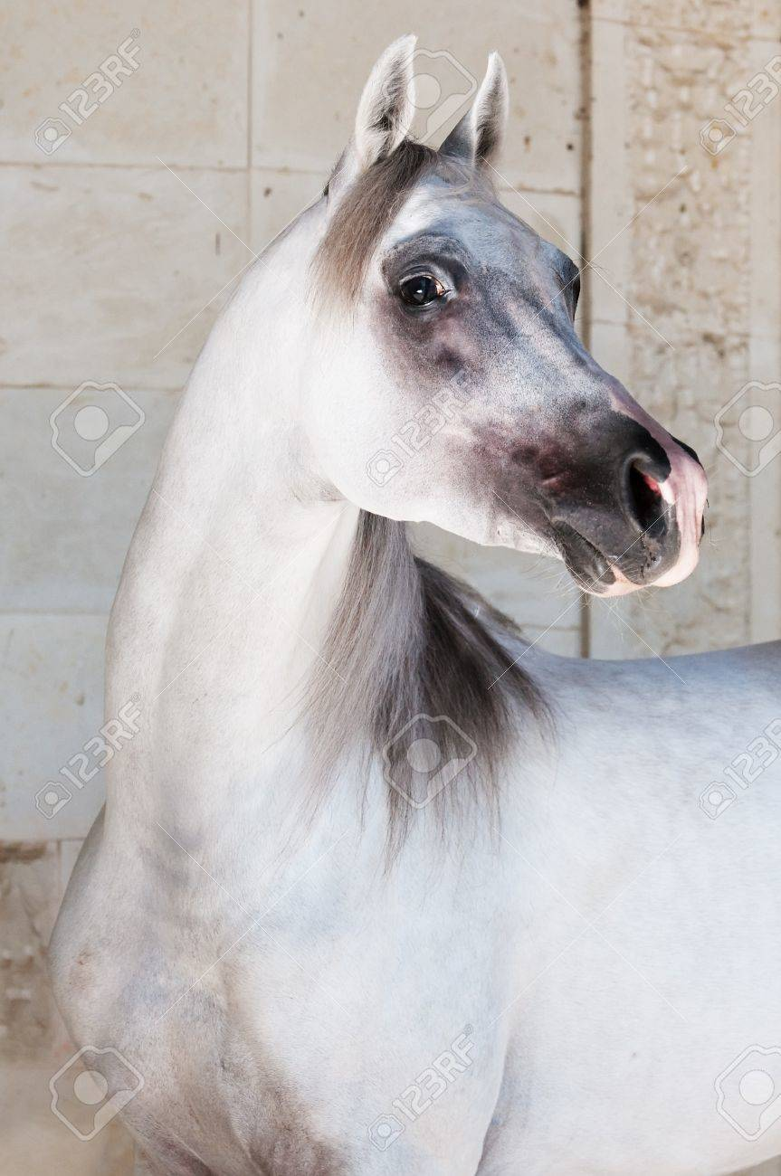 White Arabian Horse Portrait Stock Photo Picture And Royalty Free Image Image 7486976