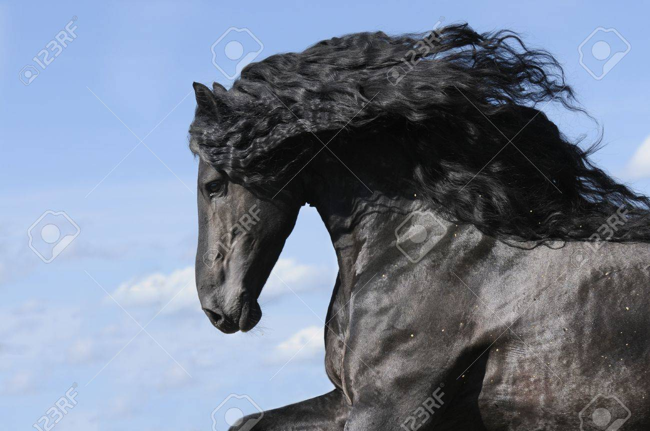 Portrait Of Moving Friesian Black Horse Stallion Stock Photo Picture And Royalty Free Image Image 7622253