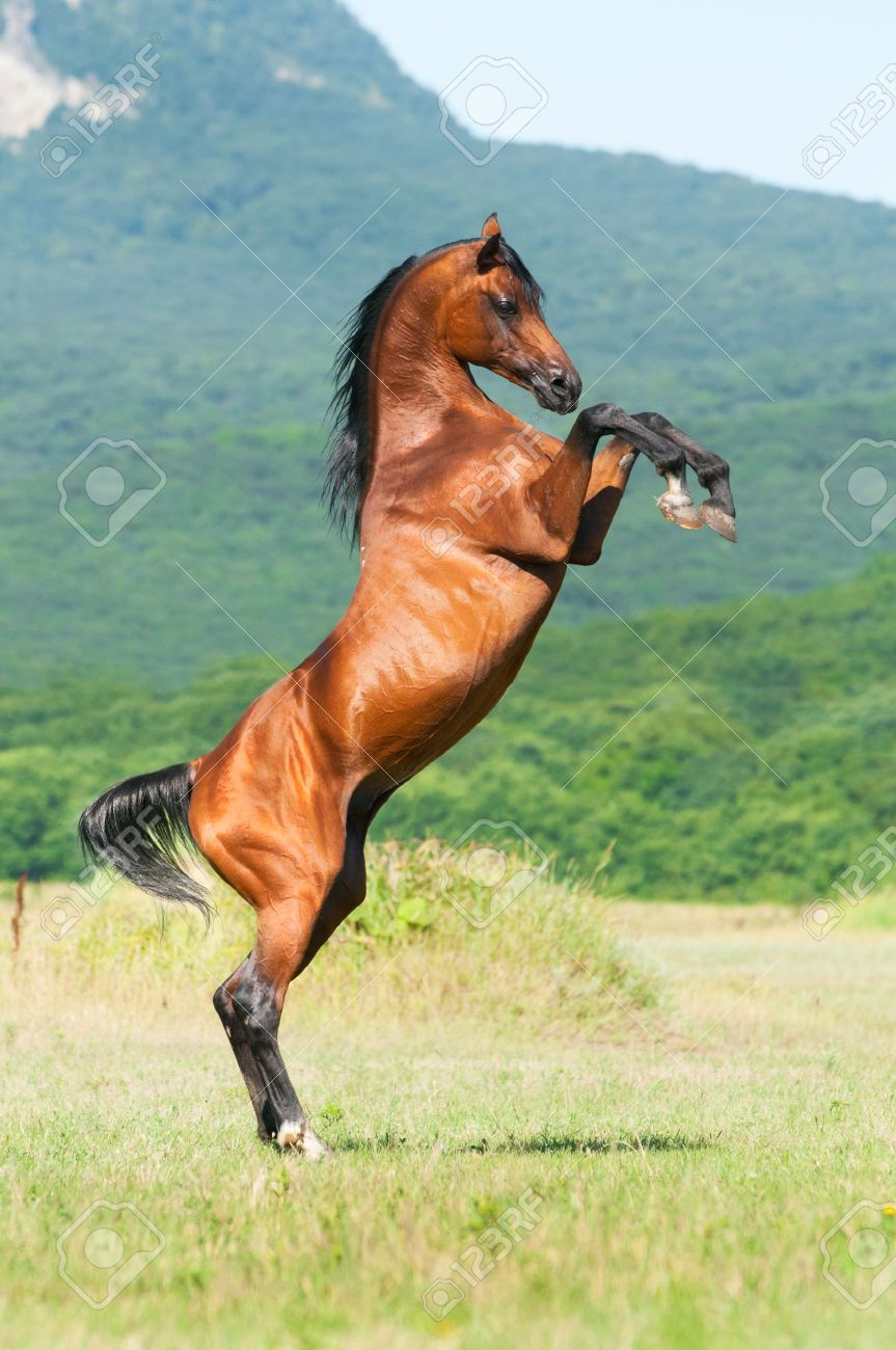 Bay Arabian Stallion Rearing Stock Photo Picture And Royalty Free Image Image 7820127