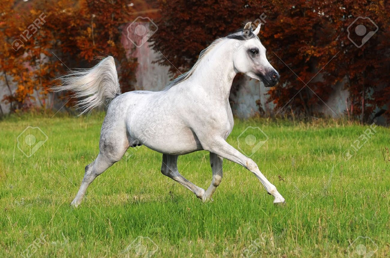 White Arabian Horse Runs Trot In Autumn Stock Photo Picture And Royalty Free Image Image 7820136