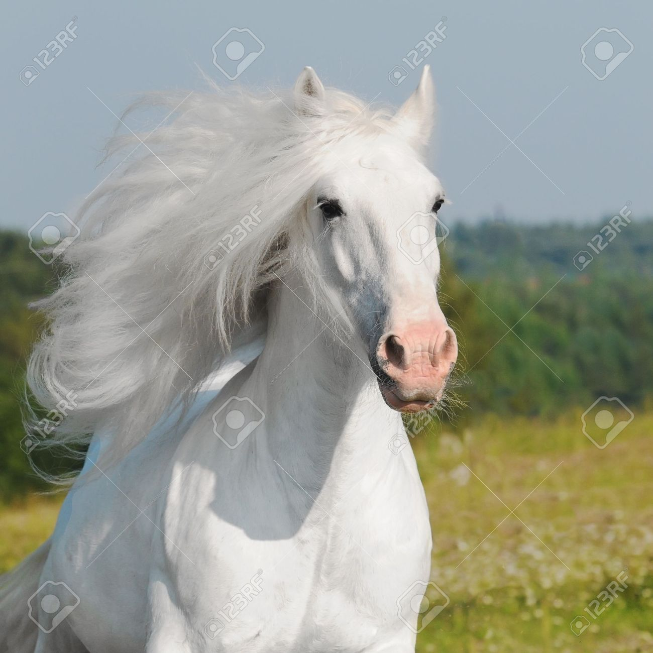 White Horse Runs Gallop Stock Photo, Picture And Royalty Free ...