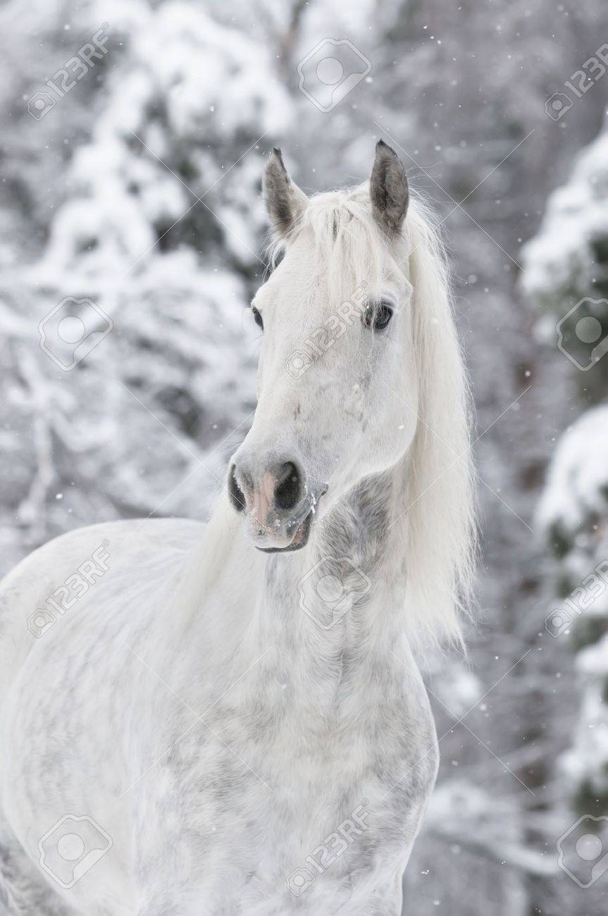 White Horse Portrait In Winter Stock Photo Picture And Royalty Free Image Image 8630681