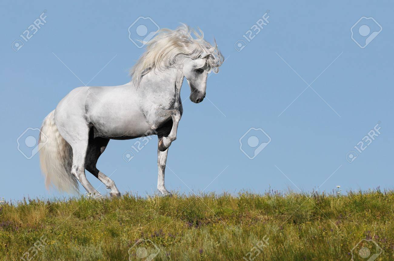 white andalusian stallion going piaffe on a grass Stock Photo - 8801972