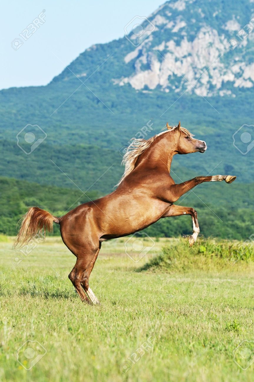 Red Arabian Horse Rearing On The Meadow Stock Photo Picture And Royalty Free Image Image 9495811