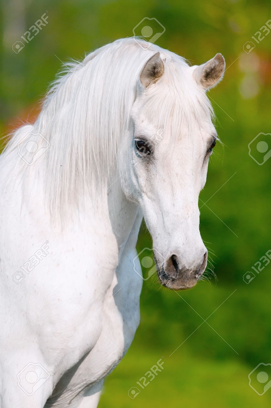 White Arabian Horse Portrait In Summer Day Stock Photo Picture And Royalty Free Image Image 10049828